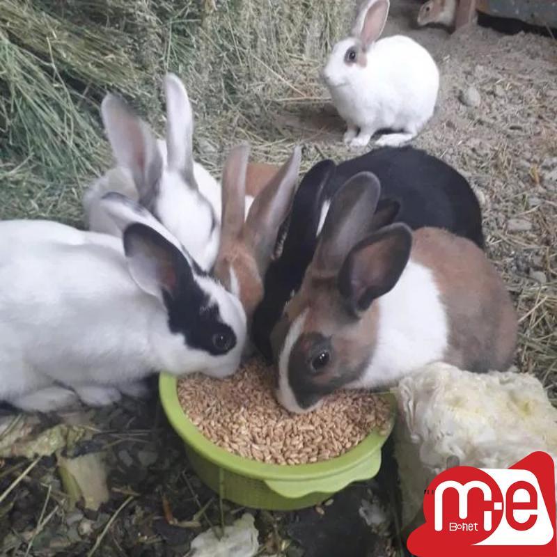خرگوش چهار ماهه و پنج ماهه