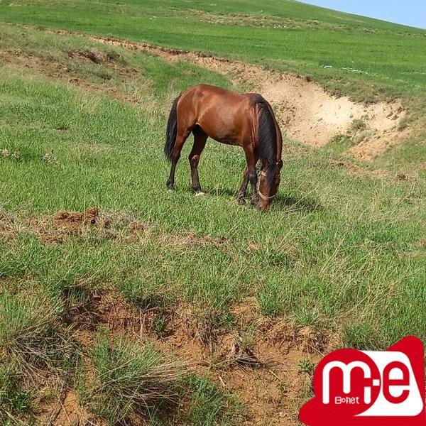 اسب نریان ۶ ساله