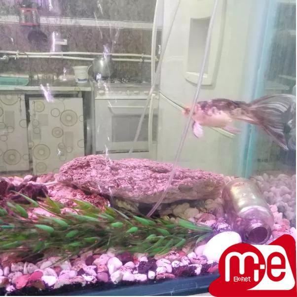 ماهی کوی باله بلند